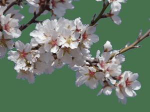flowers, almond tree, flowering