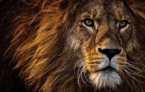 lion, predator, dangerous