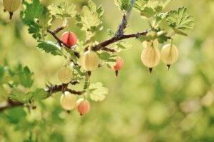 gooseberry, fruits, tree